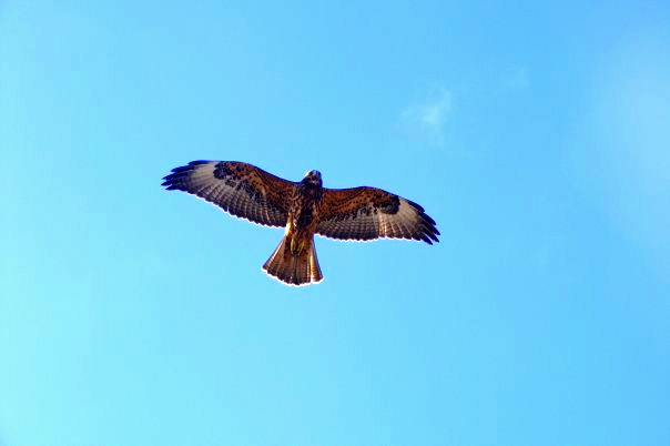 Flight should be left to these creatures.  Which, since you asked, is a magnificent Galapagos Hawk! :)