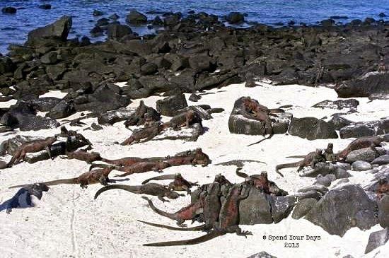 galapagos espanola ecuador red marine iguanas