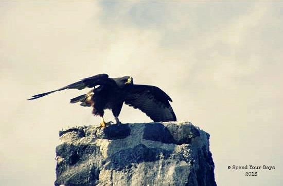 galapagos espanola ecuador hawk