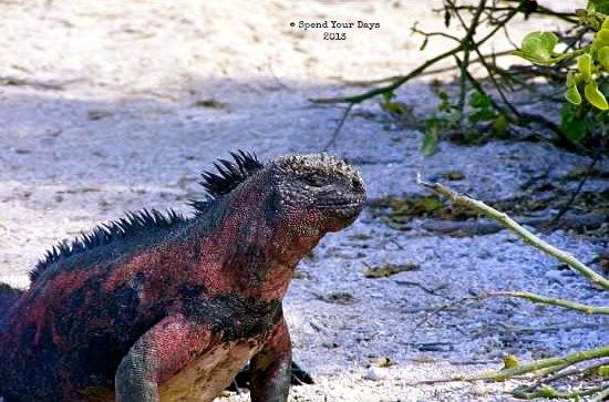 galapagos ecuador red marine iguana espanola
