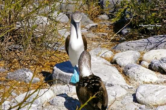 galapagos ecuador espanola blue footed booby courtship