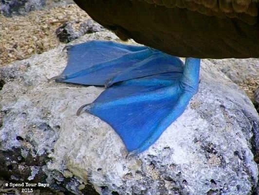 galapagos ecuador espanola blue footed booby