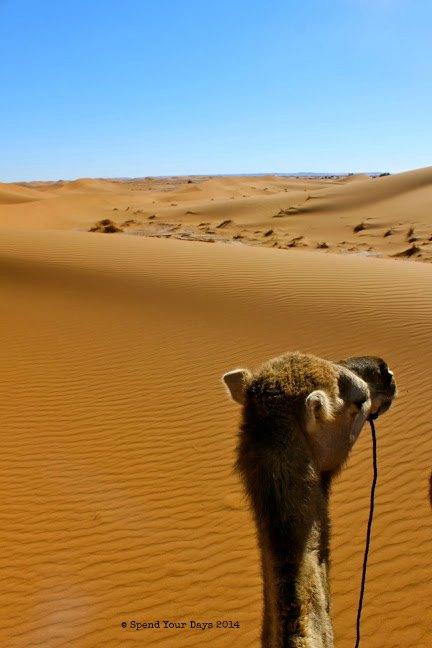 morocco sahara camel dromedary dunes