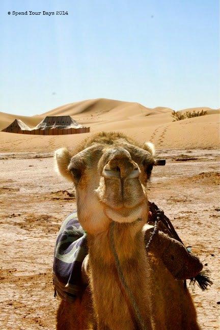 morocco sahara camel dromedary erg chigaga luxury camp desert