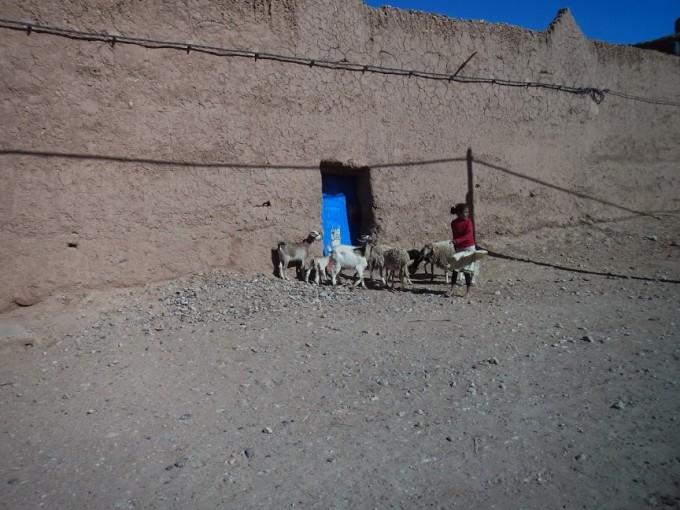morocco goat