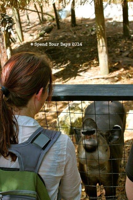 belize zoo tapir