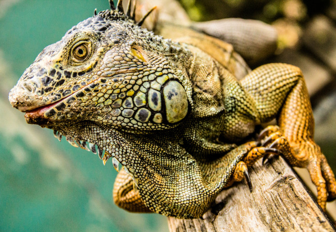 iguana conservation project san ignacio belize