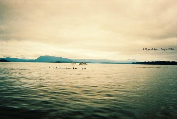 killer whales telegraph cove orca vancouver island canada