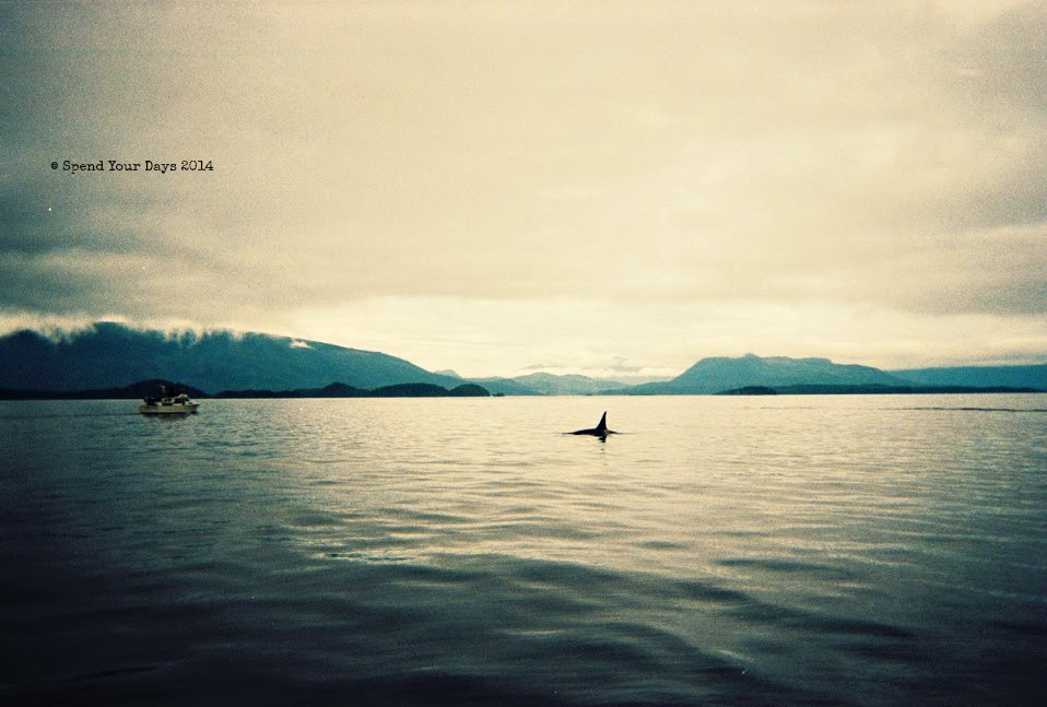 orca killer whale telegraph cove vancouver island
