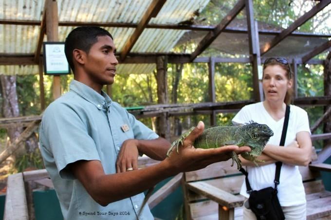 iguana conservation san ignacio belize