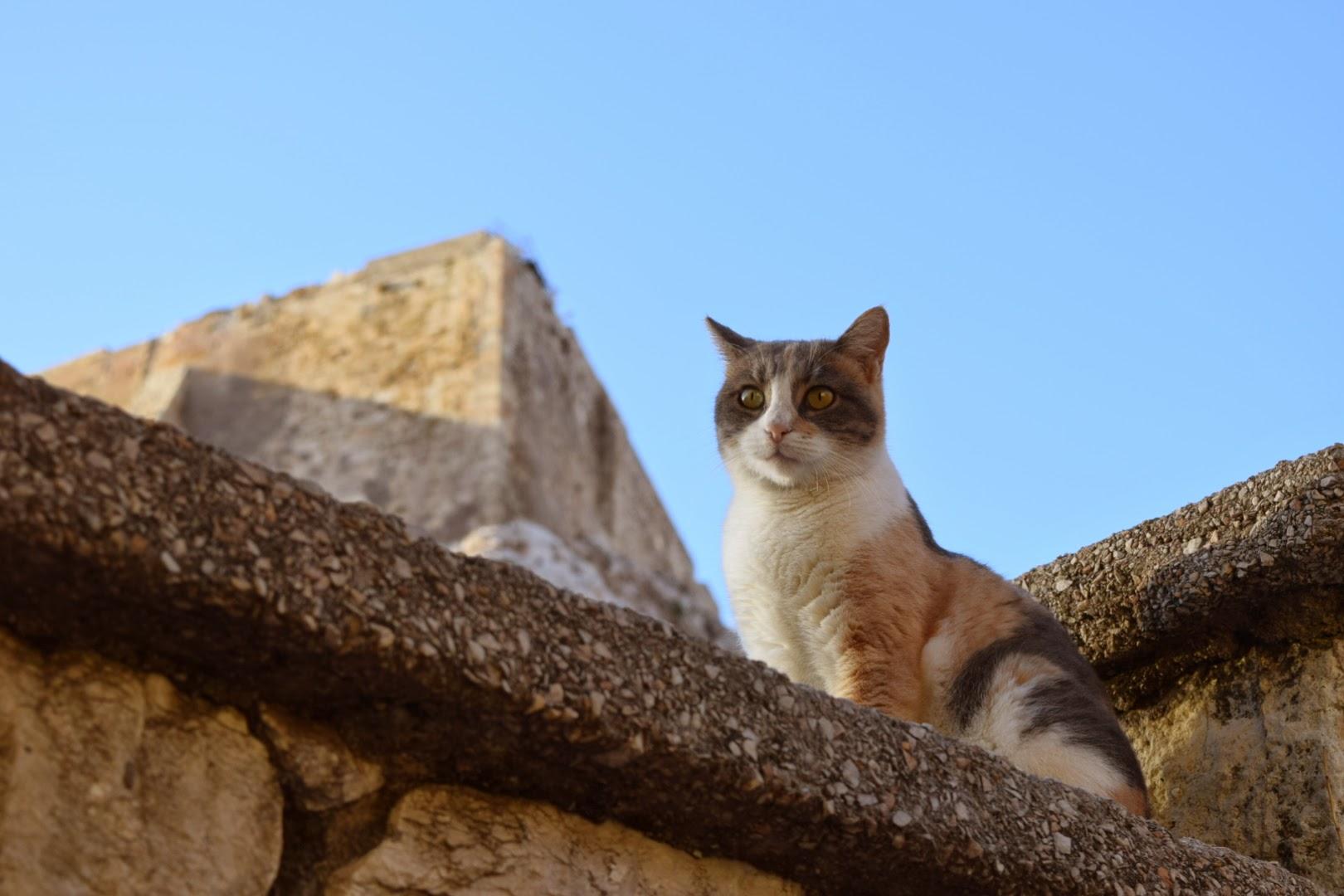 cat acropolis athens greece