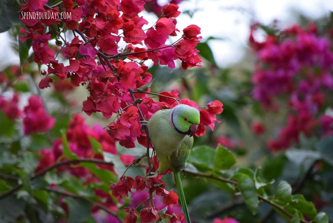rose-ringed parakeet ranthambore india